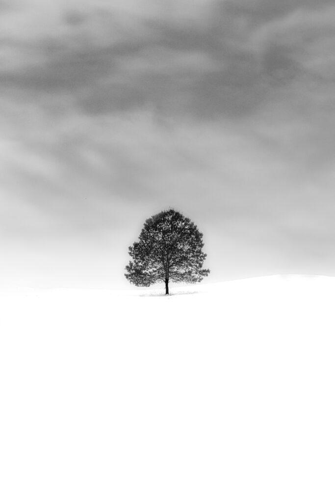 the white beech tree